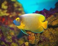 Exotic tropical fish-surgeon — aquarium Chirurgie (lat. Acanthuridae) Royalty Free Stock Photography