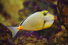 Exotic tropical fish-surgeon Royalty Free Stock Image