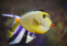 Exotic tropical fish-surgeon Royalty Free Stock Photo