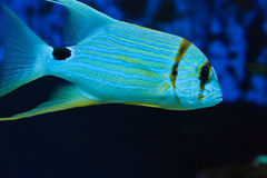 Exotic tropical fish Stock Photos