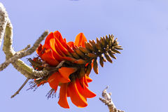 Exotic tropical flower closeup. Tropical flowering plant Erythrina crist-galli: Common name Coral Tree - Flame Tree Stock Photos