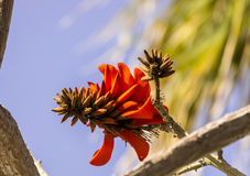 Exotic tropical flower closeup. Tropical flowering plant Erythrina crist-galli: Common name Coral Tree - Flame Tree Royalty Free Stock Photo