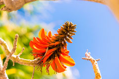Exotic tropical flower closeup. Tropical flowering plant Erythrina crist-galli: Common name Coral Tree - Flame Tree Royalty Free Stock Photos