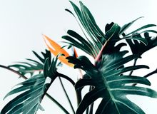 Free Exotic Tropical Flower Strelizia And Xanadu Leaves On White Royalty Free Stock Photography - 114676057