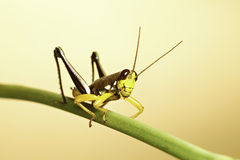 Exotic tropical grasshopper insect background Royalty Free Stock Image