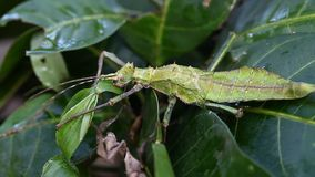 Exotic tropical insects in the terrarium of Thailand. Insects of Asia stock video footage