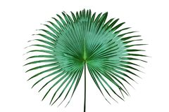 Free Exotic Tropical Palm Leaf Isolated On White Background Stock Images - 161089744