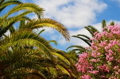 Exotic tropical palm trees and pink oleander bushes in the garden of Tenerife,Canary Islands,Spain. Travel concept royalty free stock photo