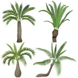 Exotic tropical realistic palm palms tree collection set. Stock Photo