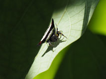Exotic tropical spider, triangular body black color and white stripes sits on a green plant leaf. Royalty Free Stock Images