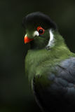 Exotic Turaco. White Cheeked Turaco against a black background Royalty Free Stock Image
