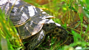 Exotic turtle hiding in grass stock video footage