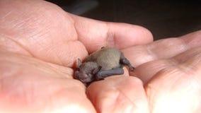 Free Exotic Veterinarian Examines Baby Bat. Wildlife Vet Stock Photos - 206411033