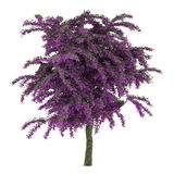 Exotic violet flower tree isolated. Stock Photos