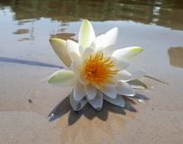 Exotic water lily lies on the sandy bank of the river, summer landscape.  royalty free stock image
