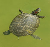 Exotic water turtle Royalty Free Stock Photo