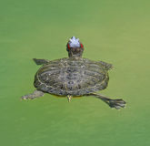 Exotic water turtle Stock Image