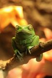 Exotic Waxy Monkey Frog Sitting on a Branch Stock Photo