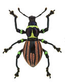 Exotic weevil Pachyrhynchus loheri Stock Photo