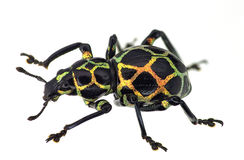 Free Exotic Weevil Pachyrhynchus Reticulatus Stock Photography - 38960302