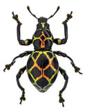 Exotic weevil Pachyrhynchus reticulatus Stock Photography