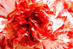 Exotic white and burgundy red carnation macro Stock Photo