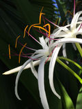 Exotic white flower with orange and purple details Stock Photos