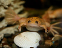 Exotic white frog, albino. Exotic white frog, Xenupus laevis, albino over the shell Royalty Free Stock Photography