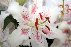 Exotic White Lillies Royalty Free Stock Image
