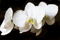 Exotic white orchids Stock Image