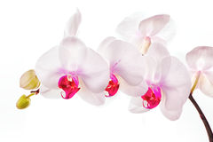 Exotic White Orchids Royalty Free Stock Photo