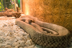Exotic white snake in the terrarium. Terrarium with a beautiful reptile. Exotic animals in a cage. The snake curled into a ball royalty free stock photos