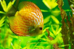 Exotic yellow fish in the water royalty free stock images