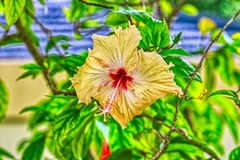 Exotic yellow flower in the Maldives islands. This beautiful photo shows a beautiful exotic yellow flower. The photo was taken in the Maldives royalty free stock photo