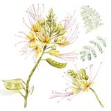 Exotic yellow flowers caesalpinia. Watercolor hand drawn botanical illustration of flowers isolated on a white. Background Stock Image