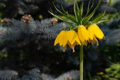 Exotic yellow Fritillaria Imperial flower on a blurred background of fir branches. Crown Imperial Fritillaria imperialis in garden, Moscow region, Russia stock photo