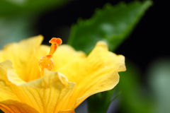 Exotic yellow hibiscus flower closeup Royalty Free Stock Image