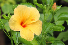 Exotic yellow hibiscus flower and plant Royalty Free Stock Photography