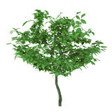 Exotic young tree isolated. Stock Images