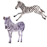 Exotic zebra wild animal in a watercolor style isolated. Full name of the animal: zebra. Aquarelle wild animal for background, texture, wrapper pattern or Stock Image