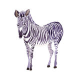 Exotic zebra wild animal in a watercolor style isolated. Royalty Free Stock Photos