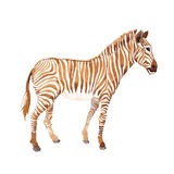 Exotic zebra wild animal in a watercolor style isolated. Royalty Free Stock Image