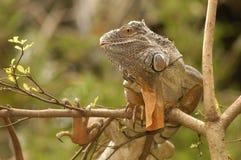 exotica鬣鳞蜥 免版税图库摄影