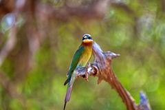 An exotically bird is sitting on a twig in the Yala Nationalpark Stock Photo