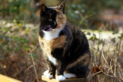 Exotik katt i detalj Royaltyfri Foto