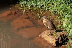 Exotis bird brown color with long beak huntingon the pond. Indian park Royalty Free Stock Photography