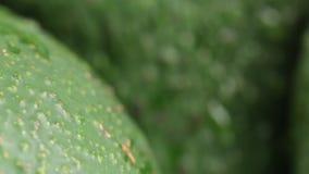 Exotisch avocadofruit in seizoen stock videobeelden