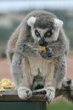 Exotisch bedreigd dier - de lunchtijd van de Maki Royalty-vrije Stock Afbeeldingen
