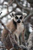 Exotisch bedreigd dier - Maki Royalty-vrije Stock Afbeeldingen