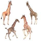 Exotisch giraf wild dier in een geïsoleerde waterverfstijl vector illustratie